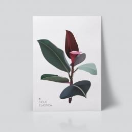 Ficus Elastica Plakat | Botanisk illustrasjon | Plante Plakat | Ohoi Studio