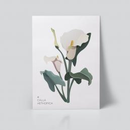 Calla lilje plakat | botanisk illustrasjon | botanisk plakat | plante | Calla Aethopica