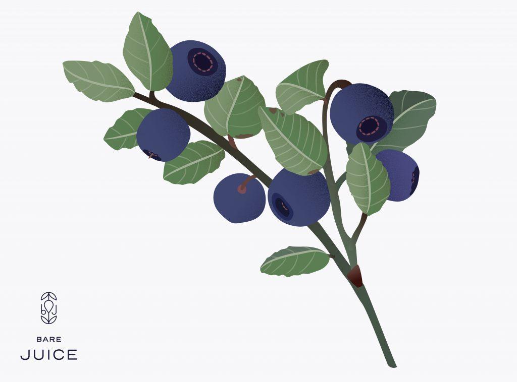 Blåbær illustrasjon - botanisk - norsk natur - bær